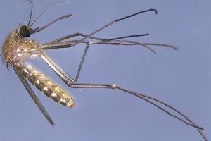 Estudo indica que pernilongo não transmite o zika